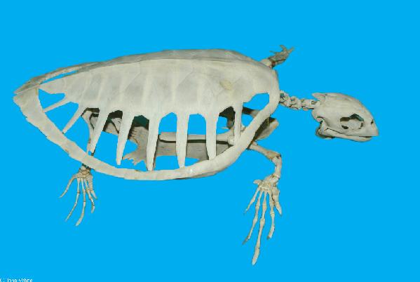 Turtle skeleton anatomy